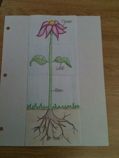 My Teaching Heart: Parts of a Plant Foldable