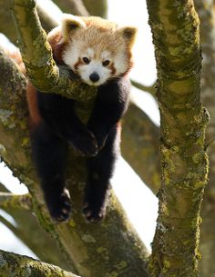 Red Panda at Cotswold Wildlife Park, England