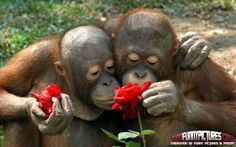 Funny Monkeys Withs Roses – Funny Monkeys | 1000 Funny Pictures