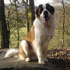 El San Bernardo es un perro de raza gigante, fuerte y elegante. Es un perro muy bueno de carácter simpático. Le encantan las personas, en especial los niños. La alzada a la cruz de los machos es de al menos 70 cm.