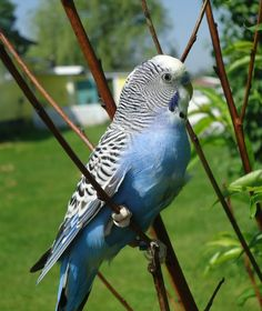 blue budgerigar / melopsittacus undulatus