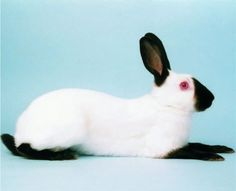Himalayan is a breed, they also pose like this.  Great rabbit for beginner or fit in show 4H I use to show Himalayan.  I love their calm, friendly temper.  They come in black, blue, chocolate, lilac variety.  2/12 to 4 1/2 ideal 31/2 pound.