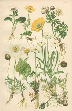 Alpine Poppy, Wild Buttercup, Ranunculus, Glacier Crowfoot, 1906 Antique French Botanical Plate 11, Country Cottage Decor, Library Decor