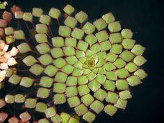 23 plantas geométricas de arrepiar os fissurados em simetria e padrões