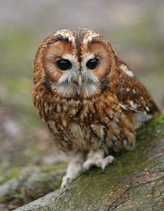 Tawny Owl by naturenev, via FlickrI.  I often hear these during the night, the male tu-whit, tu-whoo's while the female answers with a high pitched pee-wit