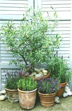 This is why you need olive trees in your home and garden, mediterran Back Gardens, Small Gardens, Outdoor Gardens, Modern Landscaping, Backyard Landscaping, Landscaping Ideas, Easy Garden, Garden Pots, Garden Bar