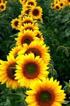 A row of sunflowers: in a line oriented east to west, the blossoms will line up like this to face the sunrise.