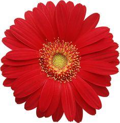Red Gerber Daisy Clipart