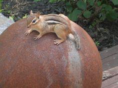 Photobucket - Photo and image hosting, free photo galleries, photo editing. Baby Chipmunk, Baby Squirrel, Hedgehogs, Squirrels, Eastern Chipmunk, Ground Squirrel, Small Animals, Rodents, Junk Drawer