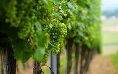 Download wallpapers green grapes, macro, fruit, white grapes, vineyard Grape Vineyard, Food Wallpaper, Green Grapes, Desktop Pictures, Herbs, Fruit, Wallpapers, Green Grape, Herb