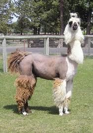 That's not just any shorn llama...that's Besahik!!!