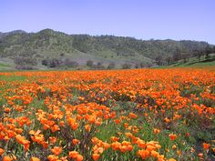 A vast field of orange  poppies stretches out to the green hills in the distance. - Photographer/Submitter:Gregg Morgan Wilderness:Cedar Roughs Wilderness Description:Poppy field
