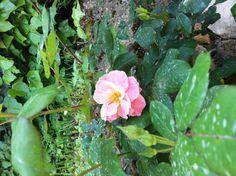 Una rosa nei fori imperiali