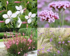 Selecting vegetation for bedding lots Flower Garden, Drought Resistant Landscaping, Xeriscape, Plants, Hydrangea Care, Gaura, Beautiful Flowers, Perennials, Prairie Planting