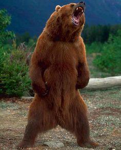 . Photography by @ (Galen Rowell). An Alaskan brown bear standing and growling. #Wildlife #BrownBear #Alaskan