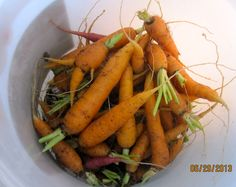 A pail of fresh carrots