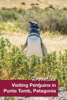 Punto Tombo in Argentina is one of the most accessible places to visit penguins. A visit the to conservation area was a highlight of our family travels to Argentina and was a favorite activity for our kids.