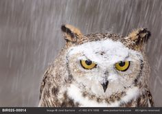 Snow falls on a captive great horned owl at a raptor recovery center near Gibbon, Nebraska, by Joel Sartore  [looks like me in snow... ticked]