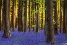 Bluebell Inner Glow - Hallerbos (blue forest) in Belgium.