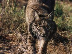 De Iberische lynx geldt als de meest bedreigde katachtige ter wereld. Er lopen nog maar enkele honderden exemplaren rond in Spanje. Zijn neef, de Euro-Aziatische lynx, doet het beter.