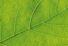 Photo about Closeup of a green leaf texture with visible veins. Image of branched, detailed, green - 39937051 Trees To Plant, Plant Leaves, Luz Solar, Leaf Texture, Fiddle Leaf Fig, Leaf Background, Eucalyptus Leaves, Garden Guide, Photosynthesis