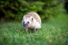 Hedgehog in the wilderness!