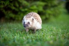 Hedgehog in the wilderness!