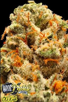 og kush When the history of cannabis is written, OG Kush will be right up there with the invention of hydroponics as one of the great milestones of weed culture. The problem is finding genuine, honest-to-god OG Kush–so many lesser varieties on the market are passed off as the popular strain.