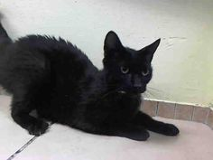 NYC TO BE DESTROYED May 29'14 ** BEST BEHAVIOR RATING for this gorgeous MOMMY!!! ** Jenny interacts with the Assessor, solicits attention, is easy to handle and tolerates all petting. ** JENNY. ID #A1000386. Female black about 1 YEAR STRAY with Kittens/Litter #K14-178019.
