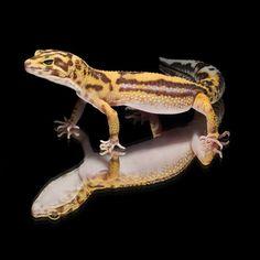 #leopardgecko 'Joey' Tangerine Tremper Albino
