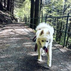 We are blessed with beautiful hiking roads around where I live! So many beautiful roads like this! #samoyed #samojed #samoyedo #samoieda #dog #dogsofinstagram #instadog #animal #pet #puppy #pup #puppylove #walk #nature #woods #forest #followme #road #samojednorge #toungeout #fitness #exercise #workout #training #run #lead #spring #rain #sun #leaf by lea_samoyed