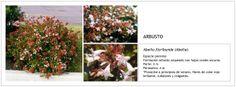 Abelia floribunda (Abelia)