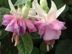 Fuchsia Joanna Lumley