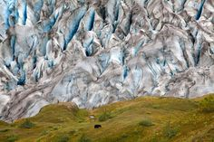 Climbing the Harding Ice-field trail in the rain, has its rewards. I stopped to admire glacier, only to find an adult black bear eating in front of a glowing blue glacier. (© Colin McCrindle) #