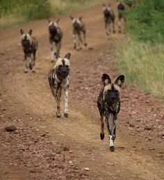 Keep in line! Wild dogs, Madikwe Game Reserve, South AFrica