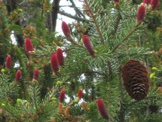 I have lived in Wisconsin most of my life and have never seen these red baby pine cones on a spruce...they are so pretty.