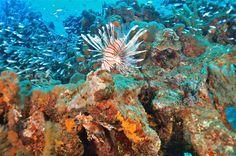pez Leon pez invasor