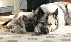 Embla & Ishtar - #elkhound #elghund Pet Dogs, Dogs And Puppies, Dog Cat, Elkhound Puppies, Baby Animals, Cute Animals, Norwegian Elkhound, Grey Dog, Family Dogs
