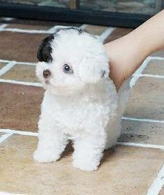 Bilie1 Poodle Puppy Miniature, Mini Poodle Puppy, Teacup Poodle Puppies, Poodle Puppies For Sale, Cavapoo Puppies, Mini Poodles, Toy Puppies, Toy Poodles, Cute Little Puppies