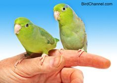These pint-sized parrots are perfect for people looking for a quiet pet bird. Don't let their size fool you though; these little birds are as smart and clever as big parrots.