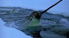 Unusual Animals Narwhal: Is this the most unusual whale in the world? It is about animals that live in the Arctic waters of Canada, Greenland, Norway. Cute Narwhal, Baby Narwhal, Interesting Animals, Unusual Animals, Animals Beautiful, Adorable Animals, False Killer Whale, Killer Whales, Animals