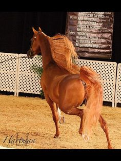 Sttardom :: Argent Farms LLC :: Distinctive Arabian Horses