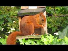 Wat voor geluid maakt een eekhoorn - YouTube Squirrel, Animals, Fall Season, Autumn, Animales, Animaux, Squirrels, Animal, Animais