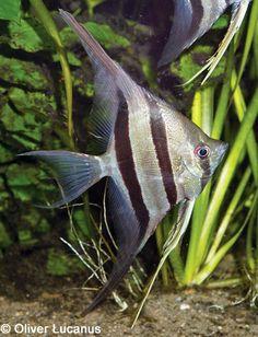veiltail angelfish - Google Search