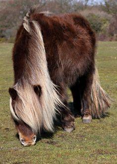 FLUFFY Shetland Pony..: )