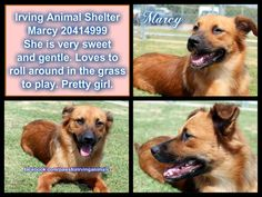 ((SUPER URGENT)) **CODE RED**NO TIME GUARANTEE** IRVING ANIMAL SHELTER - IRVING, TX- Sweet Marcy is a Border Collie mix, about 18 mos old,30 lbs, friendly, appears healthy. WATCH MY VIDEO: http://youtu.be/MvLzqBacNVY ID: 20414999  PLEASE HELP HER! Send one email to all shelter staff listed below: mailto:awindham@c... mailto:mtaylor@ci... mailto:cjackson@c... RESCUE HOTLINE AFTER HOURS: 972-721-3597. This mailbox is always checked prior to any euthanasia.