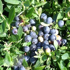 Blueberry Sunshine Blue. A compact dwarf self fertile plant that can be grown in a container. Does not need as low pH as others.