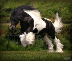 Something so beautiful about a Clydesdale This is a Gypsy Vanner. Not a Clydesdale. Most Beautiful Horses, All The Pretty Horses, Beautiful Creatures, Animals Beautiful, Cute Animals, Gypsy Horse, Majestic Horse, Draft Horses, Horse Pictures