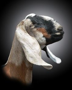 """""""AN"""" Anglo Nubians that can be traced back to the original imports are regarded as rare breeds by the Rare Breeds Trust of Australia. Great head photo of a lovely AN Sheep Pig, Sheep And Lamb, Farm Animals, Animals And Pets, Cute Animals, Goat Paintings, Nubian Goat, Goat Farming, Baby Goats"""