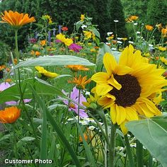 All Annual Wildflower Seed Mix – Wildflower Seeds from American Meadows